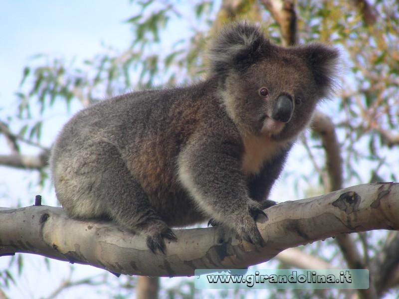 Il Koala l' animale simbolo dell'Australia