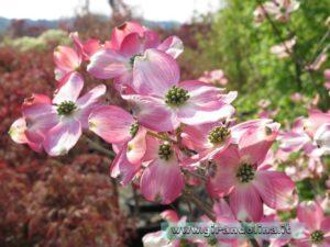 Il Cornus in fioritura