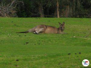 Canguro, Sydney - Australia