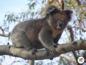 Koala, Kangaroo Island- Australia