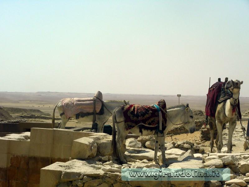 Cammello Deserto egiziano