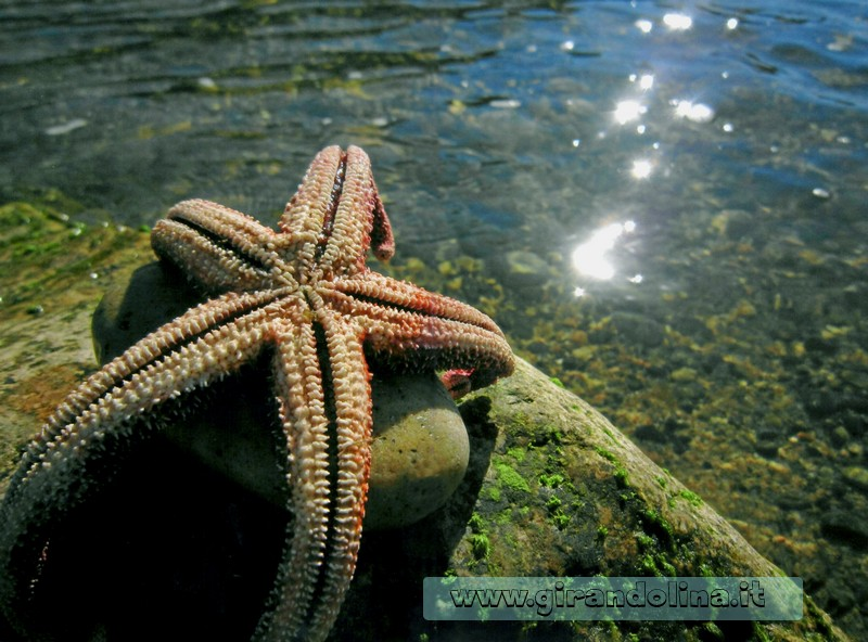 Una Stella marina nella spiaggia Li Tinnari
