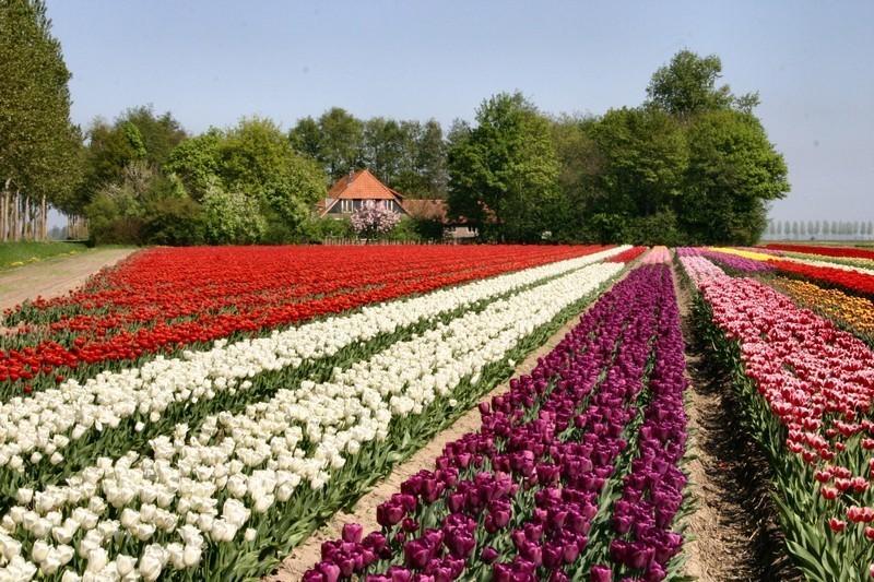 """Olanda da vedere, i paesaggi dei campi di fiori (ph Netherlands Board of Tourism & Conventions"""" )"""