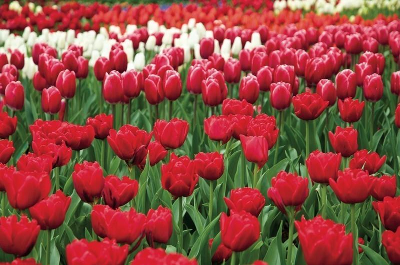 """Olanda da vedere, i paesaggi dei campi di fiori del parco di Keukenhof (ph Netherlands Board of Tourism & Conventions"""" )"""