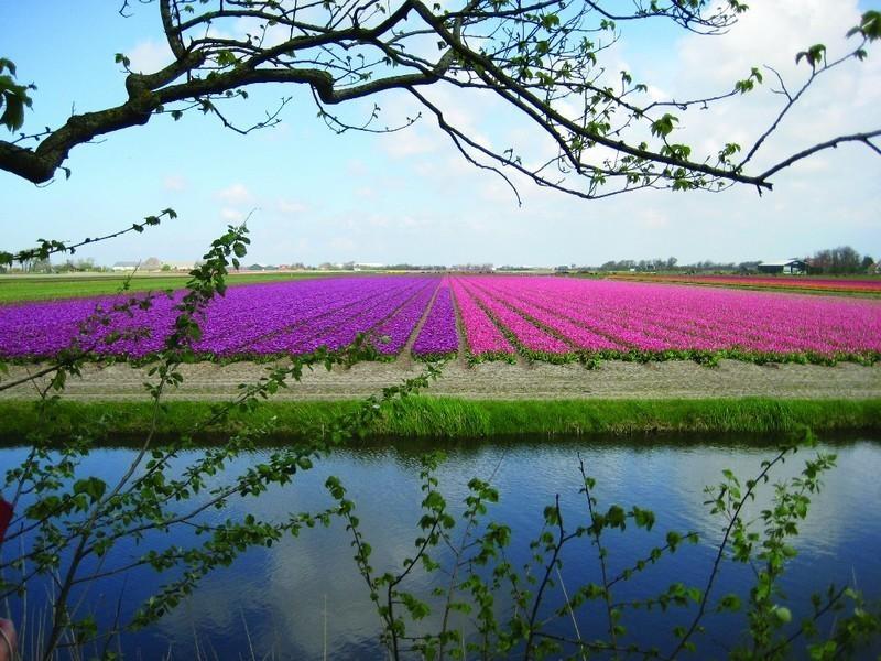"Olanda da vedere, i paesaggi dei campi di fiori Bollenstreek (ph Netherlands Board of Tourism & Conventions"" )"