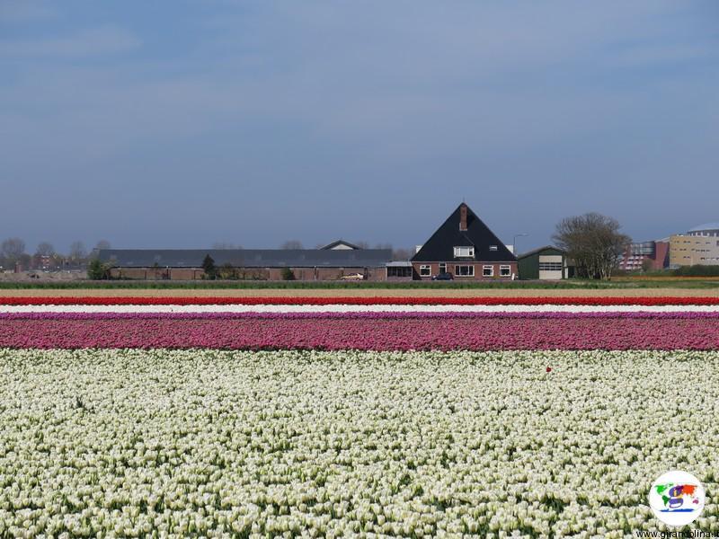 Kop van Noord-Holland, campi di tulipani