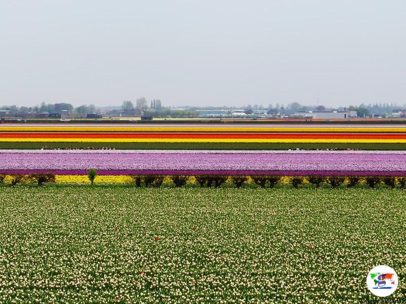 Tour Olanda, i tulipani
