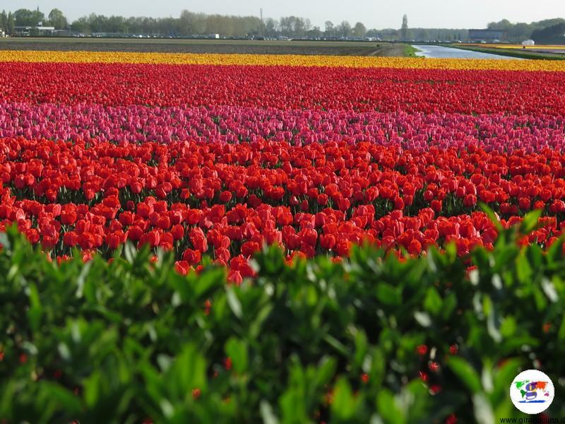 Bollenstreek, i campi di tulipani