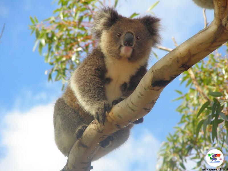 Tour in Australia, il koala