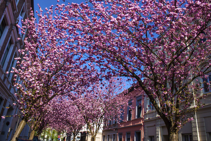 Le destinazioni piu colorate in primavera, Bonn Germania e ciliegi in fiore ( photo credits Skyscanner)