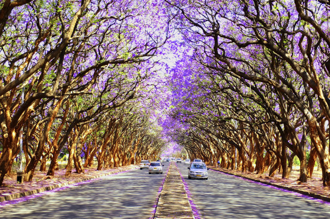 Le destinazioni più colorate in primavera, Zimbawe e gli alberi di Jacaranda ( photo credits Skyscanner)