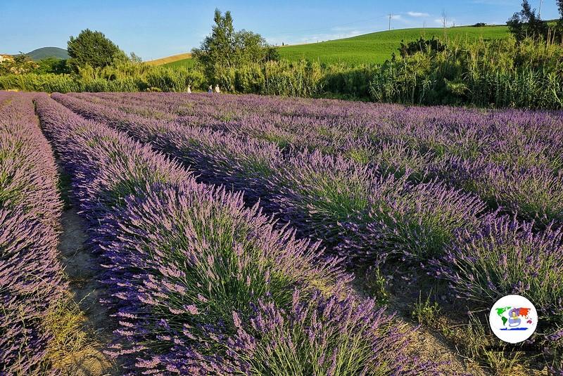 Itinerario lavanda in Toscana, Pieve Santa Luce, Flora Aromatica Santa Luce