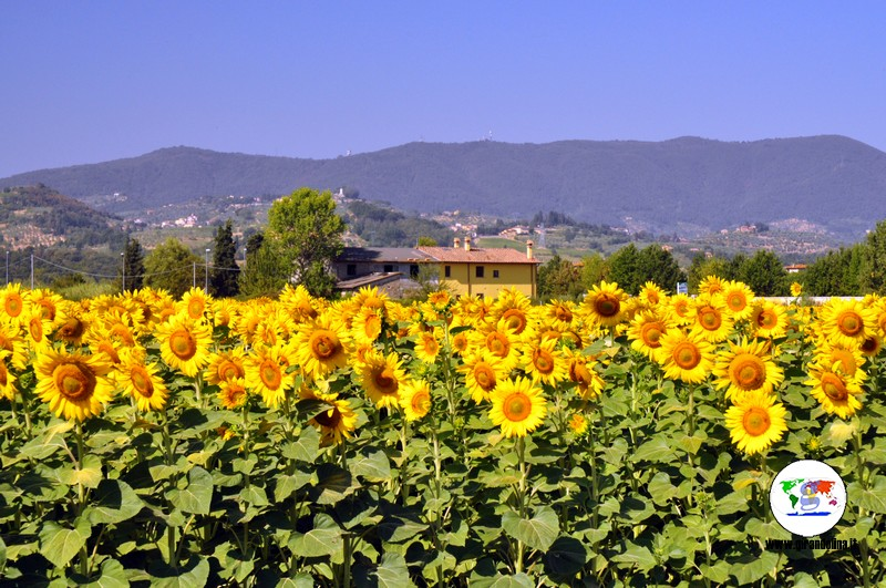 Campi di girasoli in Toscana